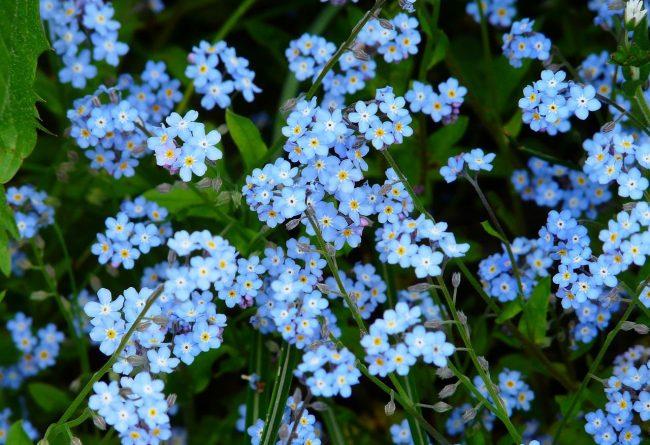 flori-pentru-gradina-de-vis